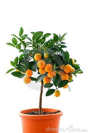 tree with small orange fruit citrus tree with fruit small orange royalty free stock