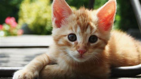 wallpaper cat orange cute orange cats tumblr wallpaper cat pixel gif litle pups