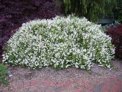 low growing flowering shrubs for sun 21 best images about thompson res on gardens