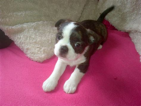 boston terrier shih tzu mix puppies for sale admin pictures 14 guinea pigs quotes