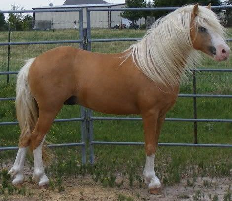 Pony Section A by Mountain Pony Section A Stallion The Promise S