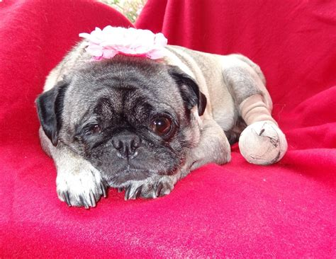 pug help help pug rescue with rosebud s surgery costs compassionate pug rescue