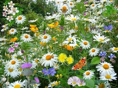margherita fiori margherita fiori once occhio piante natura selvaggia
