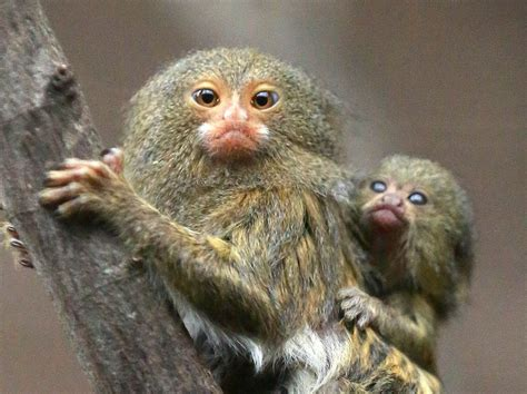 in the life of a pygmy marmoset scientia