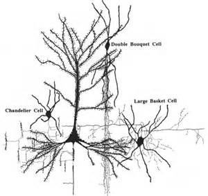 chandelier cell figure 15 the evolution of the brain the human nature of