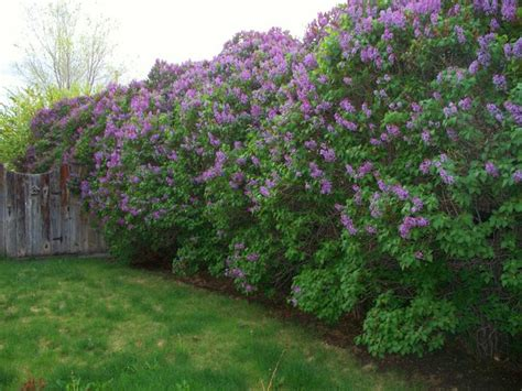 lilacs bush lilac bushes over 50 years old wow nature favorites