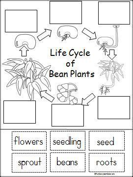 the cycle of a plant worksheet cycle of a bean plant activity interactive
