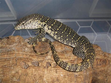 Nile Monitor 10 terrfying lizards and turtles iwebstreet