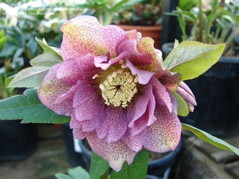 plantfiles pictures hellebore lenten rose washfield double flowered helleborus by goswimmin
