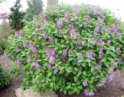 pianta lilla in vaso syringa vulgaris coltivazione lill 224 sguardo nel verde