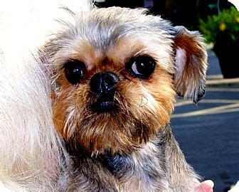 brussels griffon puppies for adoption adopt a brussels griffon find dogs for adoption breeds picture