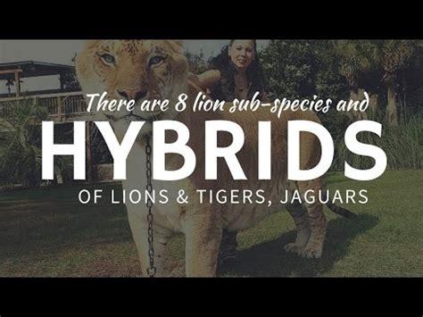 Chief Hybrid Panthera panthera hybrid