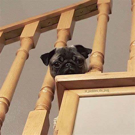 pug going up stairs best 25 pug photos ideas on