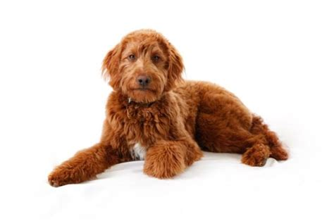 irish setter doodle puppies for sale irish doodle puppies for sale