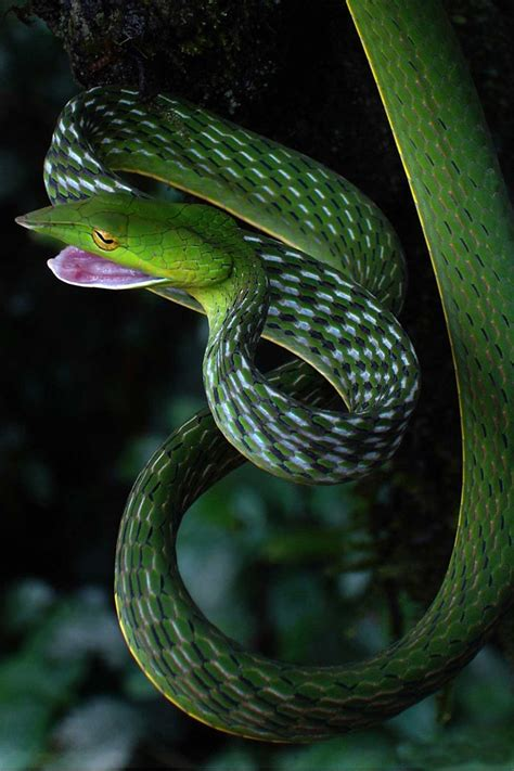 Garden Snake Poison 17 Best Images About Snakes On Pit Viper