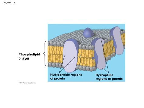 cell membrane structure  function