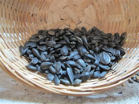 black oil sunflower bird seed northwest nature shop