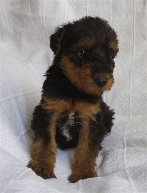 airedale puppies for sale kc registered airedale puppies for sale northton northtonshire pets4homes