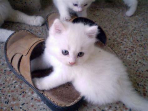witte siberische kittens dieren katten dieren witte doll face perzische kittens zoekertjes net