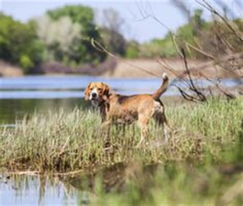 blastomycosis in dogs canine blastomycosis blasto pets