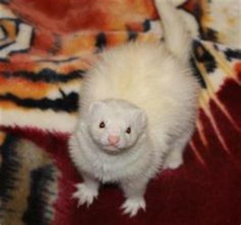 desk weasel for sale desk weasel pet for sale as slideshow castles