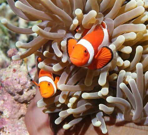 anemone finding nemo sea anemone nemo