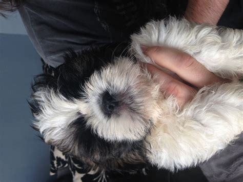 shih tzu puppies for sale in hull shih tzu puppies 1 boy left ready to leave hull east of pets4homes