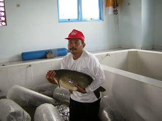 Pakan Pelet Ikan Predator jayalah perikanan dan kelautan indonesia budidaya ikan karper