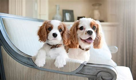 cavalier king charles spaniels whats good and bad about em everything you want to know about cavalier king charles