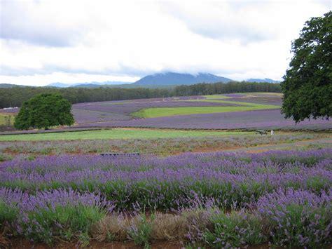 Cape Cod Farmhouse by File Tasmanian Lavender Fields Jpg Wikimedia Commons