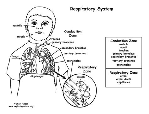 respiratory system coloring page middle high school