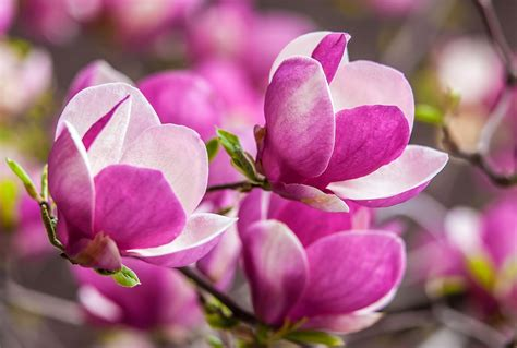 fiore flowers magnolia trees blossom in the lightorialist
