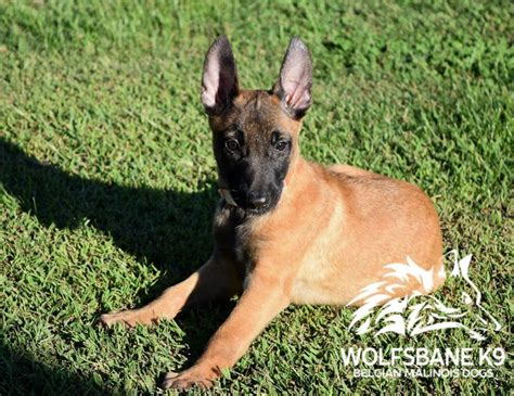 malinois puppies for sale 17 best ideas about malinois puppies for sale on gsd for sale malinois