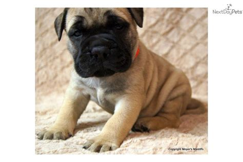 dogs for sale lincoln ne bullmastiff puppies available breeds picture