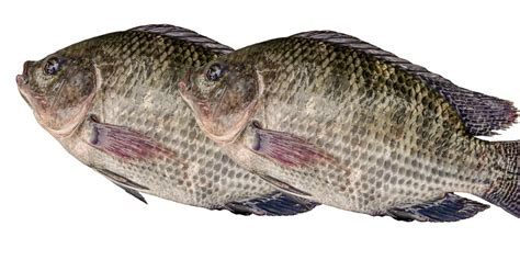 Picture Of A Tilapia Fish