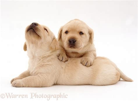 3 week lab puppies dogs two yellow labrador retriever pups 3 weeks photo wp37662