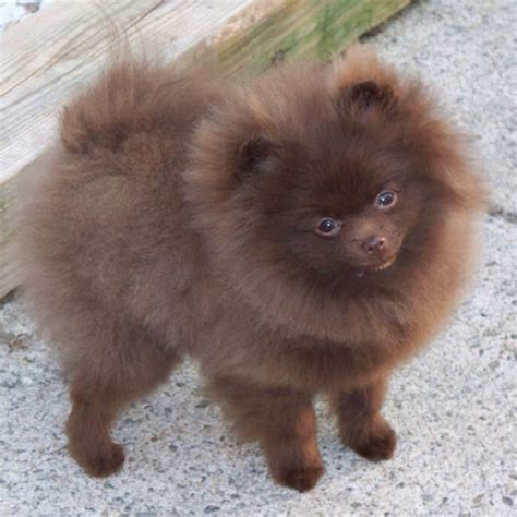 colored pomeranian pomeranian search pomeranians i my fur babies
