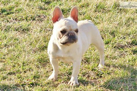 what age is a puppy grown bulldog puppy for sale near joplin missouri f7189919 7bd1