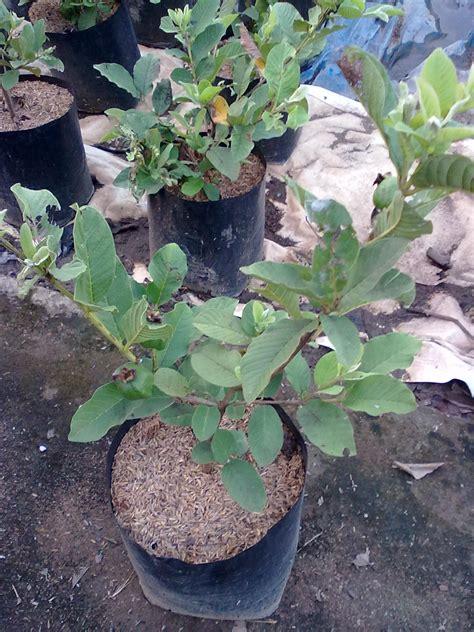 Bibit Pohon Jambu Biji Sukun Merah jambu biji australia images