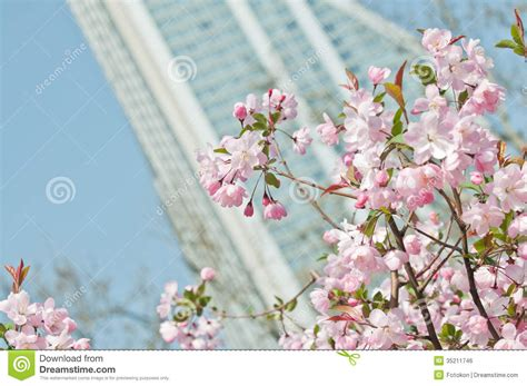 cherry tree royalty free stock image image 35211746
