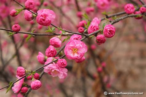 flowering almond picture flower pictures 3245