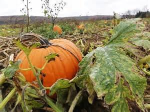 Pumpkin Patch Live With Flair It S A Grand Pumpkin Patch