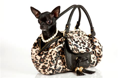puppy in a purse dos and don ts of pet fashion