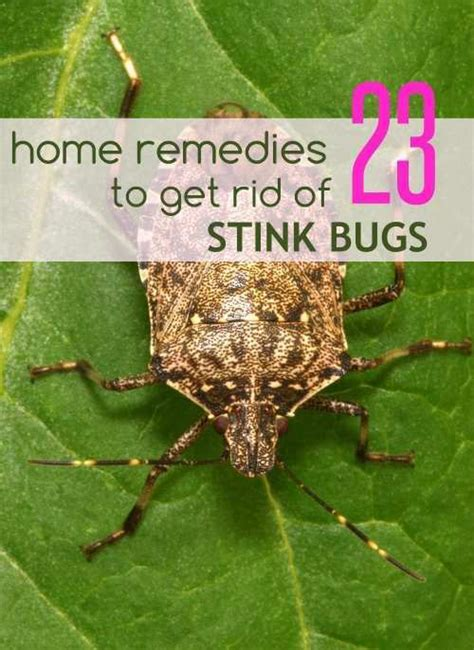 23 ultimate home remedies to get rid of stink bugs