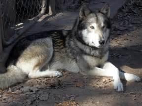 wolf hybrid puppy german shepherd wolf hybrid puppies