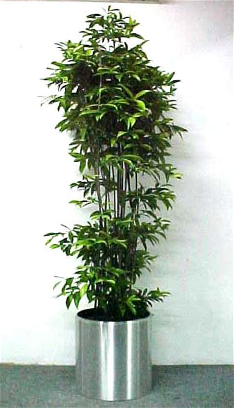 indoor japanese plants skyland gardening