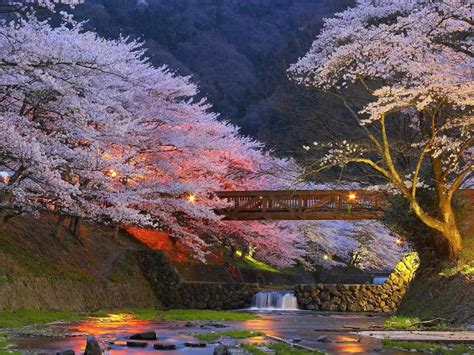 when did japan give us cherry blossoms cherry trees of kyoto japan xcitefun net