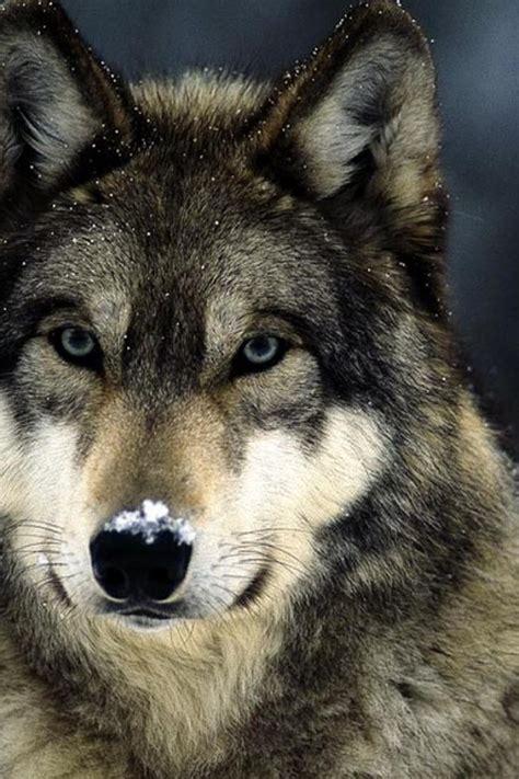 wallpaper google chrome wolf blaue augen schneelandschaften graue wolf w 246 lfe wallpaper