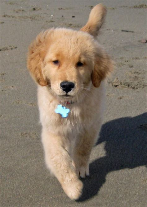4 month puppy has diarrhea golden retriever 4 months pictures photo