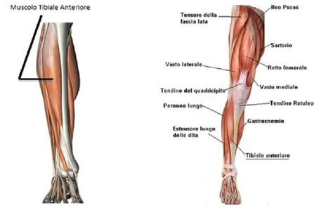 dolore al lato interno ginocchio tibiale anteriore anatomia funzioni e patologie correlate